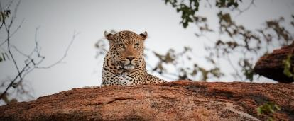 A wild leopard rests at the Wild at Tuli reserve in Botswana, spotted by a volunteer in Africa.